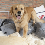 Hund verwüstet Bett