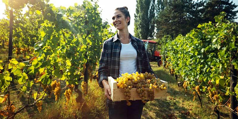 Junge Frau hält eine Kiste mit Weintrauben in den Händen und steht zwischen Weinreben