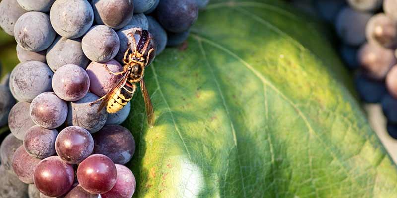 Wespe an Weintrauben