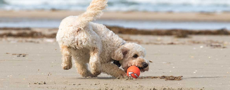 Hund spielt mit Ball am Strand
