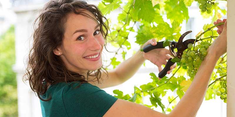 Eine Frau schneidet Weintrauben von einer Weinrebe