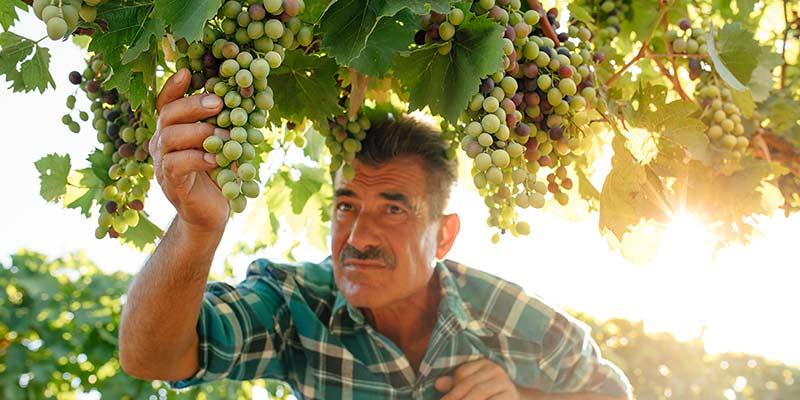 Mann erntet Weintrauben bei Sonnenschein