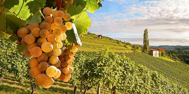 Weintrauben am Weinberg bei schönem Wetter