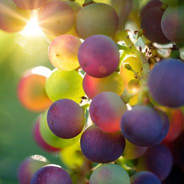 Frische Weintrauben an einer Weinrebe