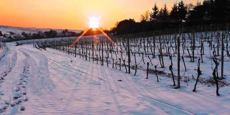 Weinberg im Schnee